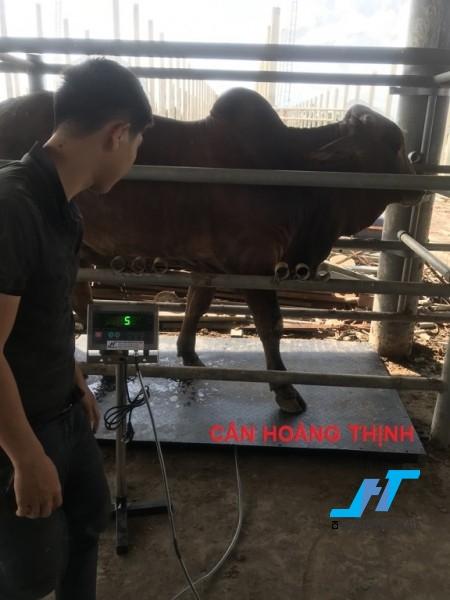 Cân sàn bò điện tử 500kg là cân công nghiệp chuyên dùng cho cân gia súc trâu bò các loại